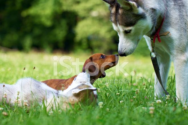Puppy Siberian Husky and Stock Photos - FreeImages.com