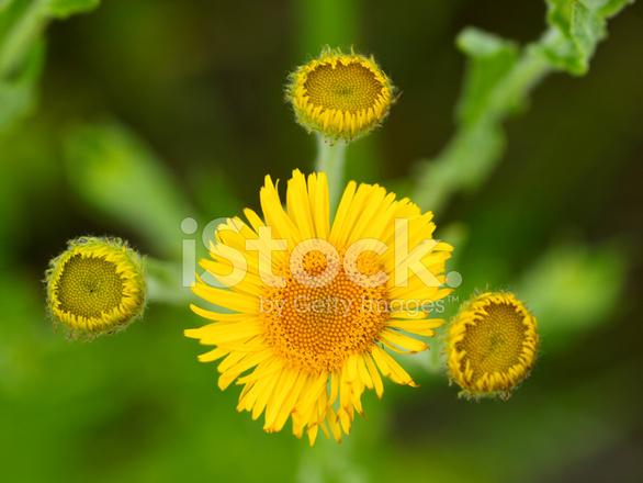 Pulicaria Dysenterica Fiore Con Sfondo Verde Fotografie Stock