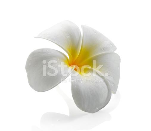 Frangipani Blume, Isoliert, Weißer Hintergrund Stockfotos ...