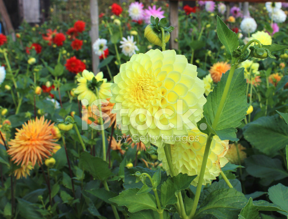 yellow pompon dahlia flowers ball dahlias flowering in summer stock photos. Black Bedroom Furniture Sets. Home Design Ideas