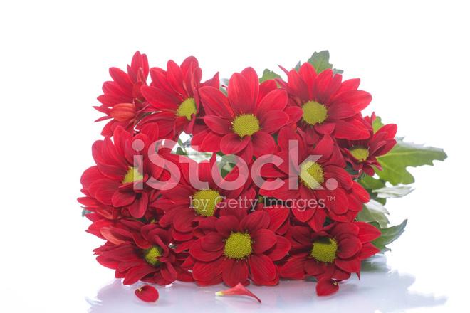 Güzel Kırmızı çiçek Açan Krizantem Stok Fotoğrafları Freeimagescom