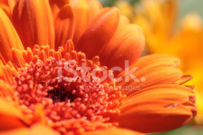 flor de gerbera naranja fotografías de stock freeimages com