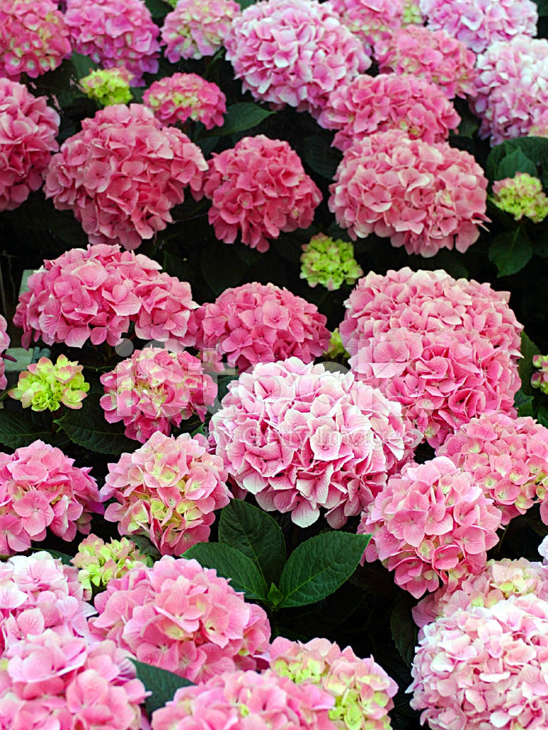 粉红色的绣球花植物