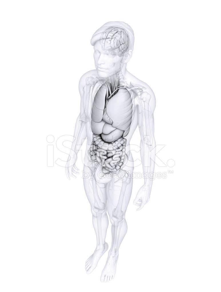 Verdauungstrakt Der Männlichen Anatomie Stockfotos - FreeImages.com