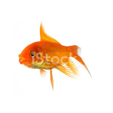 Poisson rouge nage dans l 39 eau photos for Recherche poisson rouge