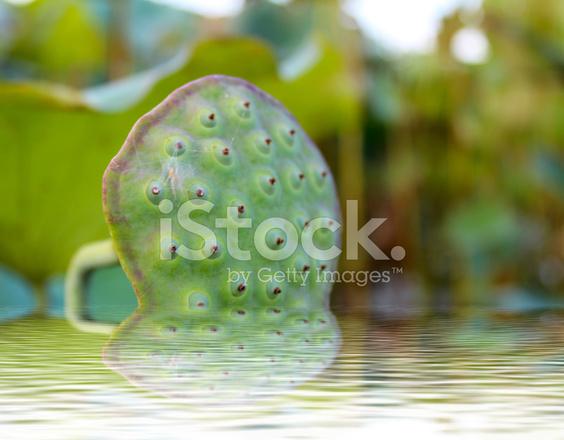 Flor De Loto Rosado Entre Follaje Verde Fotografías De Stock
