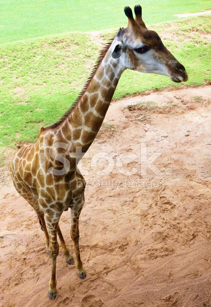 首页 付费图 动物与野生动物 长颈鹿