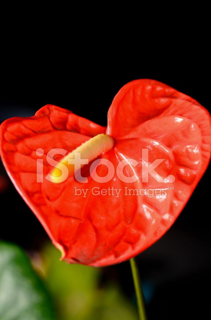 Fiori Di Anthurium Rosso Su Sfondo Nero Fotografie Stock