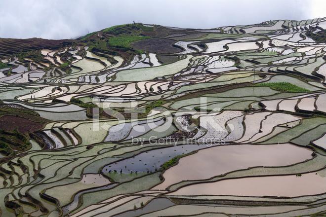 Campo De Terrazas De Arroz En Yuanyang Provincia De Yunnan