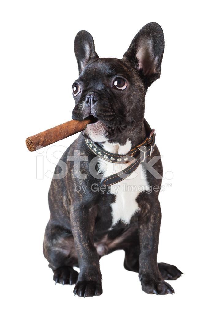 Cane bulldog francese seduto con un sigaro fotografie stock