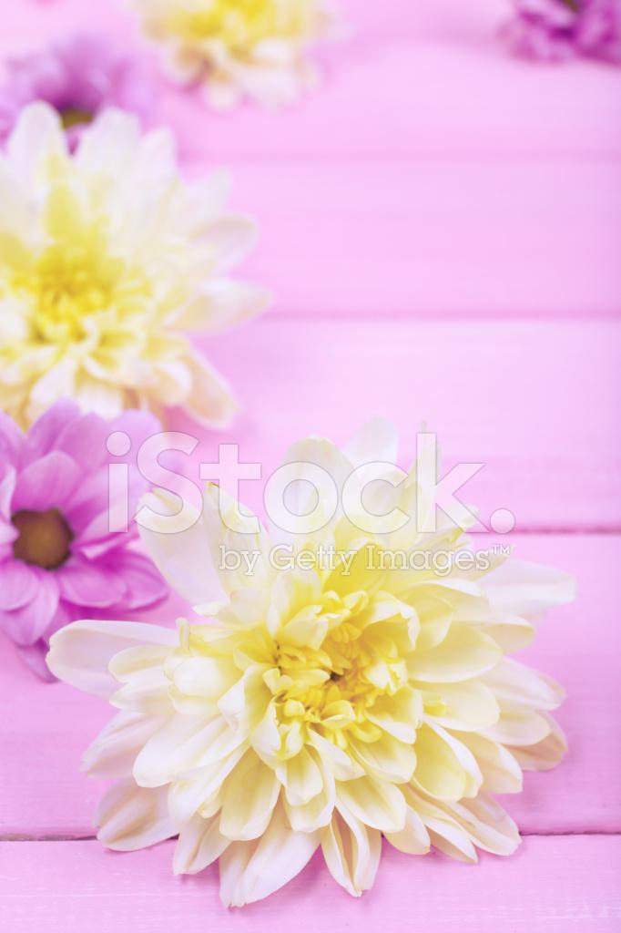Fiori Di Crisantemo Bella Su Sfondo Rosa In Legno Fotografie Stock