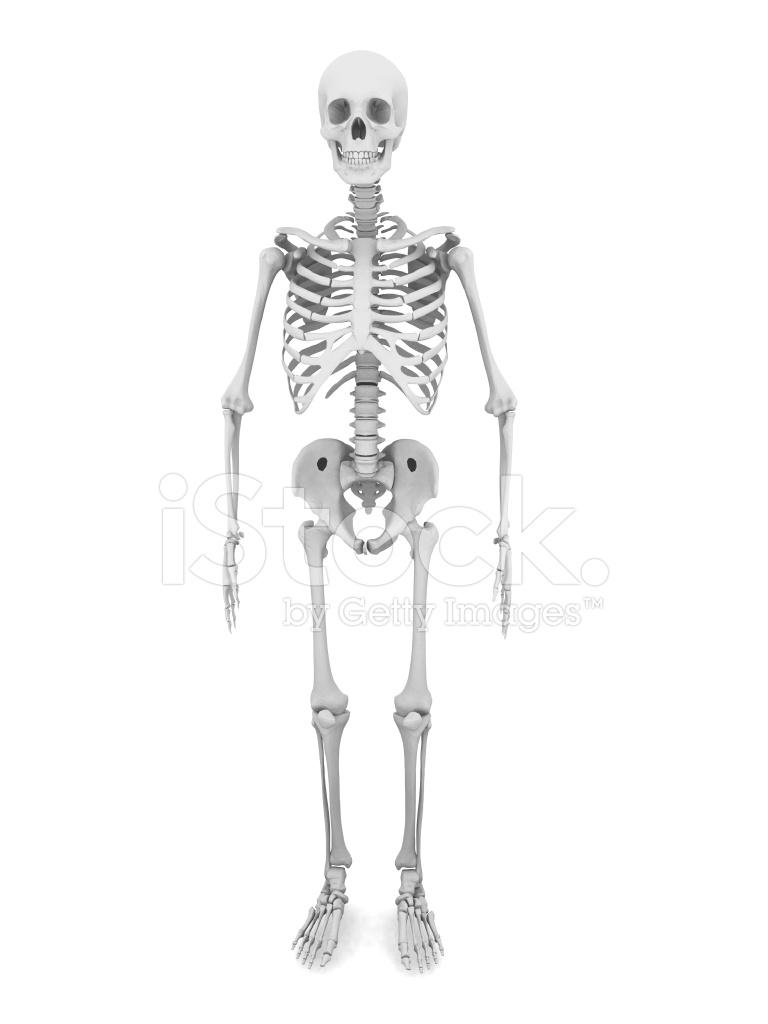 Esqueleto Humano Fotografías de stock - FreeImages.com
