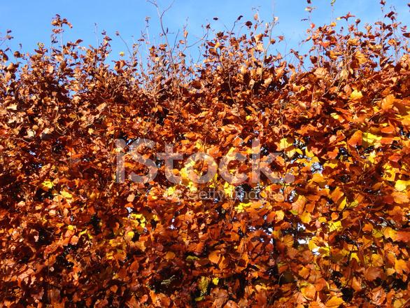 żywopłot Drzewo Buk Fagus Sylvatica Suszone Brązowy Jesień Liście