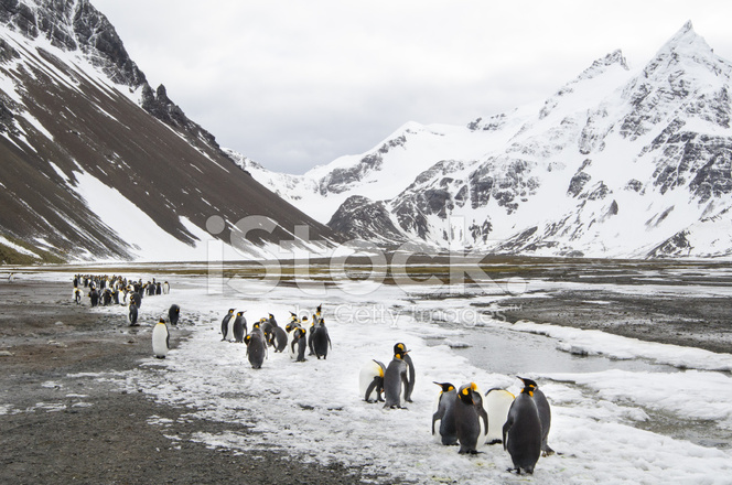 Colony Of King Penguins At South Georgia Stock Photos