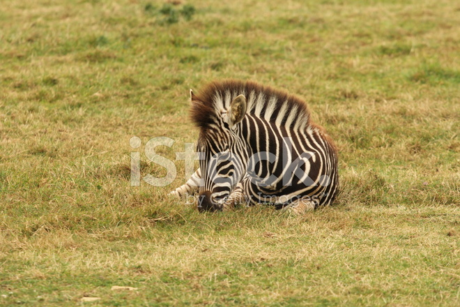 Young Zebra Sitting Alone IN Field of Grass Stock Photos ...