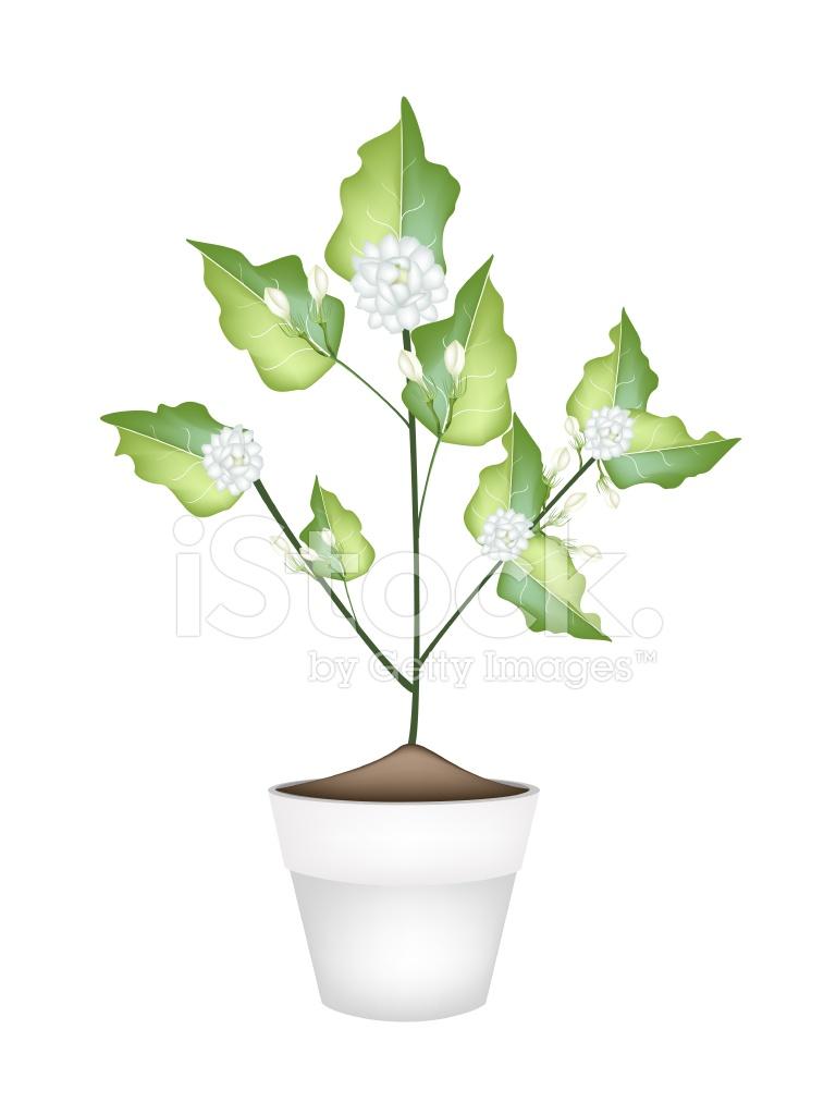 Jasmine Flower In Ceramic Flower Pot Stock Vector Freeimages