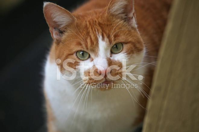 Naranja Y Blanco DE Gato Con Ojos Verdes fotografías de ... White Cat With Orange Eyes