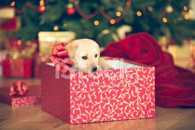 puppy in a christmas present stock photos. Black Bedroom Furniture Sets. Home Design Ideas