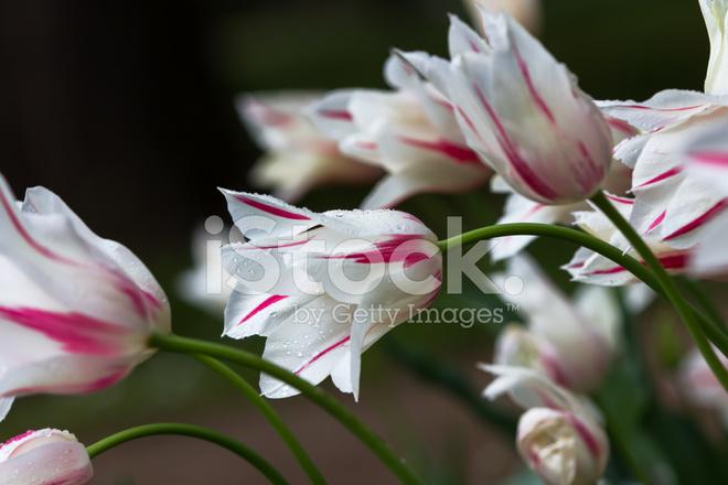 Blumen Im April Tulpen Stockfotos Freeimages Com