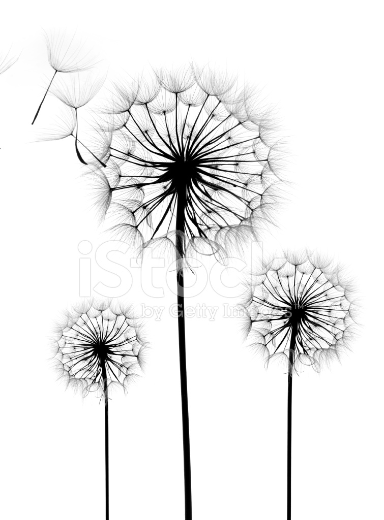 Dandelion flower on a white background stock photos freeimages dandelion flower on a white background mightylinksfo Images
