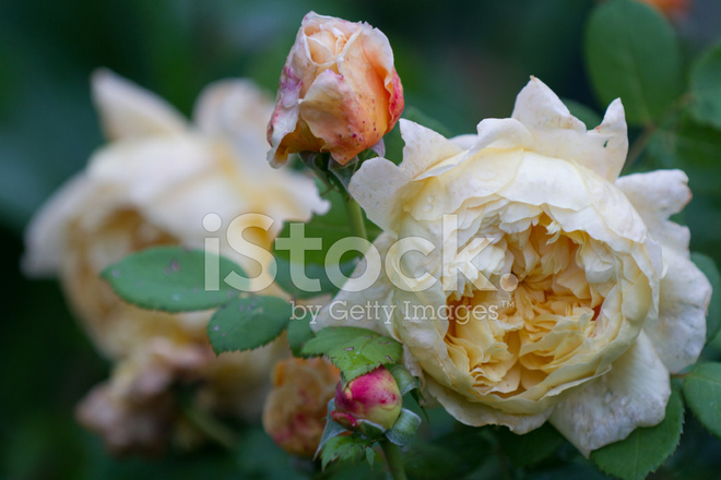 Pale Yellow English Rose Symbolic Of Love And Compassion Stock