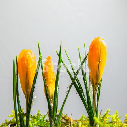 흰색 바탕에 노란 크 로커 스 새싹 스톡 사진 - FreeImages.com