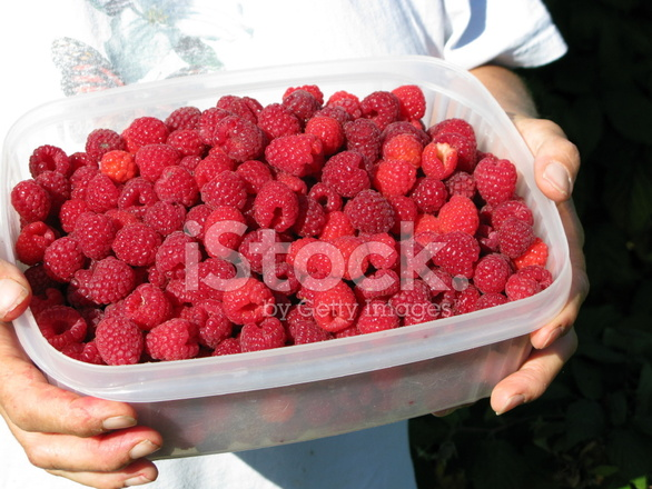 fresh picked raspberries stock photos