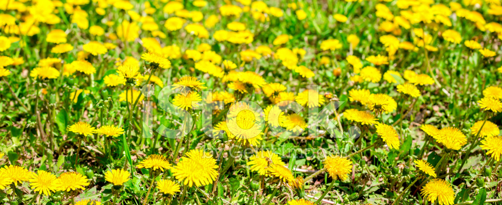 Fiori Di Campo Gialli.Sfondo Primavera Fresca Di Fiori Di Campo Gialli Del Tarassaco