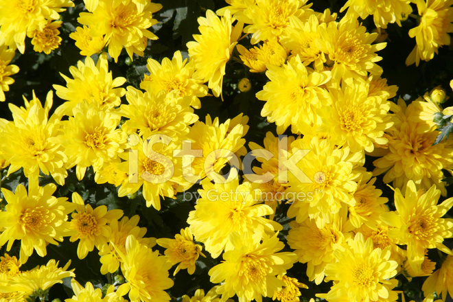 yellow flower background stock photos freeimages com yellow flower background stock photos