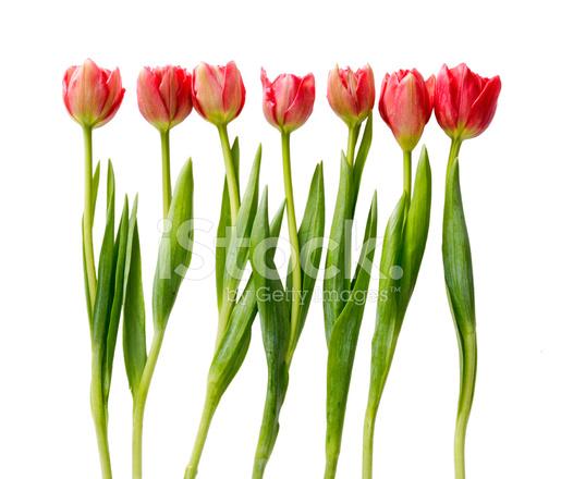 36fbd8ec3d07 Premium Stock Photo of Tulipanes Rojos