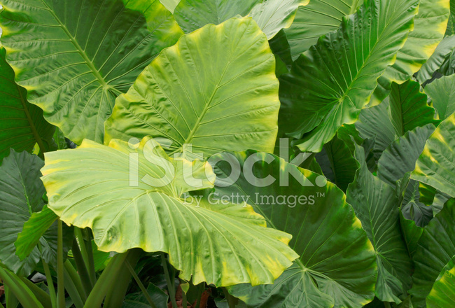 Huge Leaves Of Tropical Rainforest Plant Stock Photos Freeimages Com Tropical leaf palm print, showing various tropical plants together in one poster. huge leaves of tropical rainforest