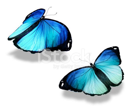 Due Farfalle Blu Isolati Su Sfondo Bianco Il Concetto Di M