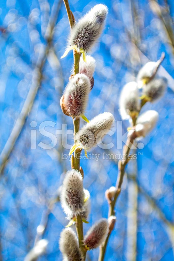 willow blossom stock photos freeimagescom