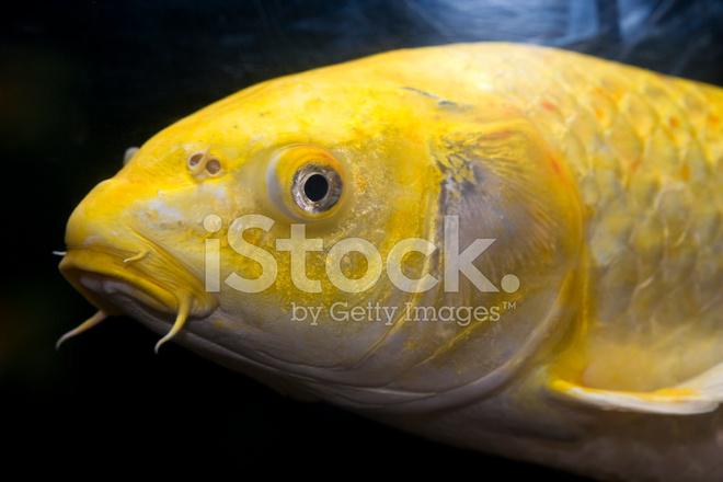 Yellow koi fish stock photos for Yellow koi fish
