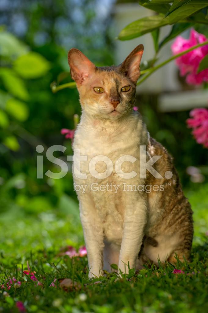 Cornish Rex Kot Z Kręconych Włosów Na Zewnątrz Zdjęcia Ze Zbiorów