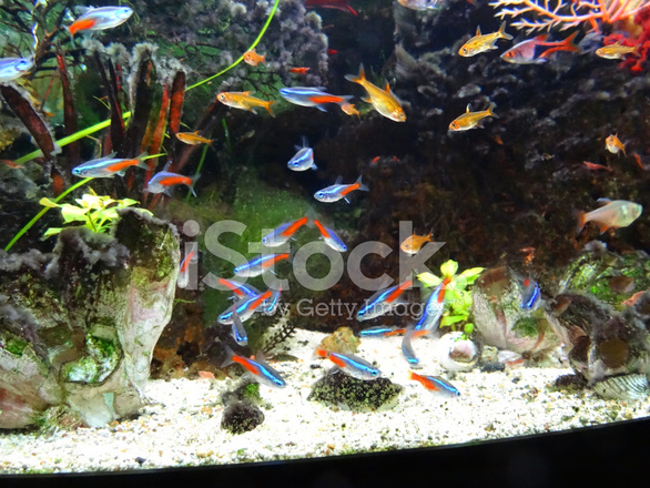 landscaped freshwater tropical aquarium fishtank neontetra fi