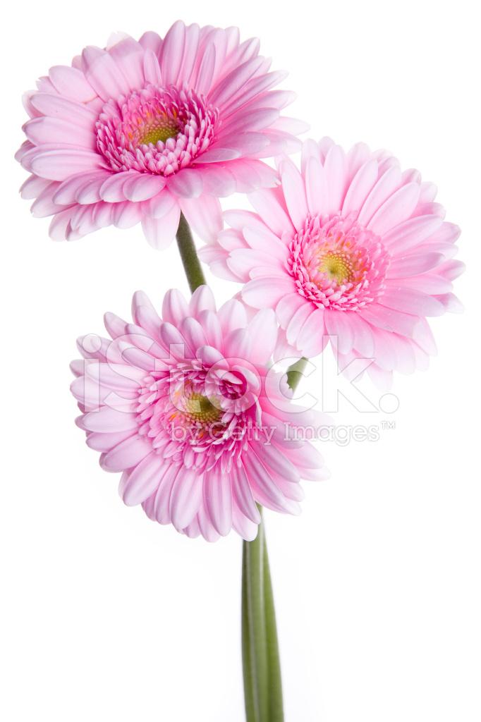 Pink gerberas flower on white stock photos freeimages pink gerberas flower on white mightylinksfo Choice Image
