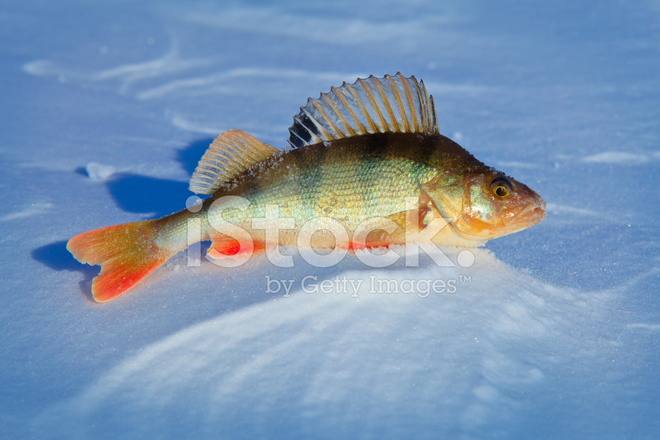 Big Fish Perch on Blue Ice Stock Photos - FreeImages com