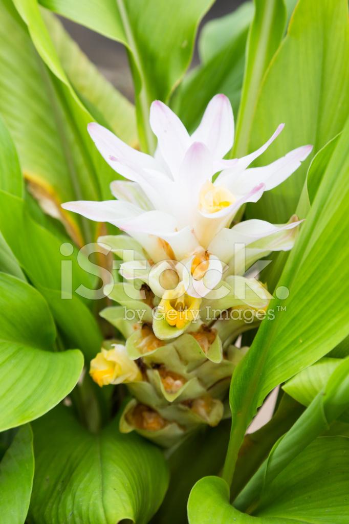 turmeric flower stock photos