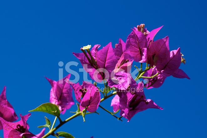 Ramo della fioritura bougainvillea in fiore contro il for Bouganville fioritura