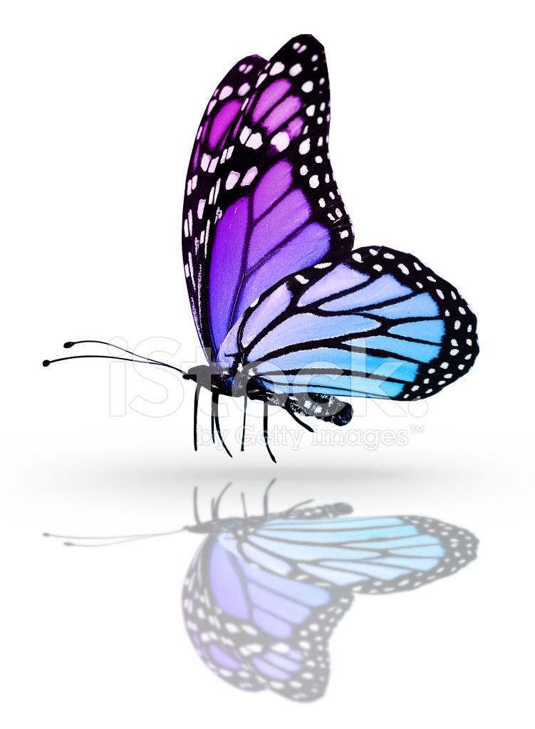 Farfalla Blu Isolato Su Sfondo Bianco Specchio Fotografie Stock