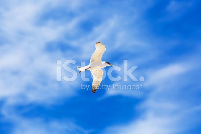 在蓝色的天空中飞翔的海鸥 照片素材 - freeimages.com