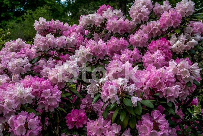 Ormang l a a bahar stok foto raflar - Rododendro arbol ...