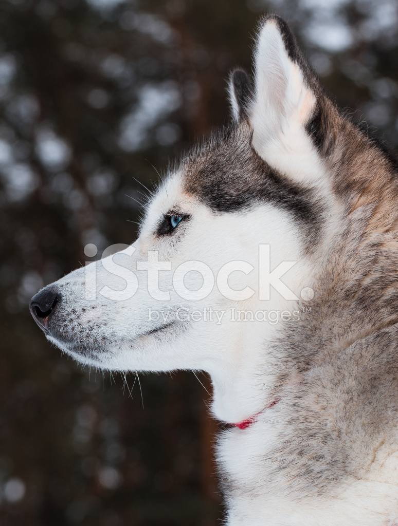 Portrait Of A Siberian Husky Close Stock Photos Freeimages Com