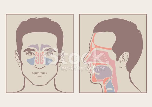 Nariz, Anatomía DE LA Garganta Stock Vector - FreeImages.com