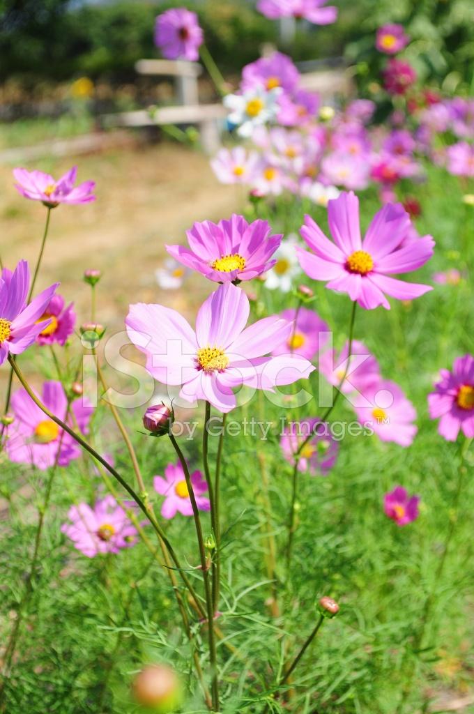 Güzel çiçekler Pembe çiçek Evren Stok Fotoğrafları Freeimagescom
