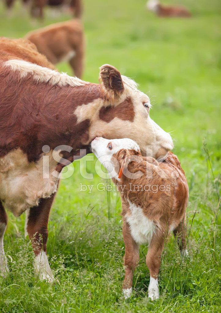 hereford cow calf nuzzling stock photos. Black Bedroom Furniture Sets. Home Design Ideas