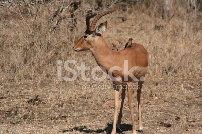 Есть ли олени в африке