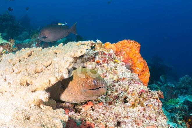 在珊瑚礁上的巨型海鳝.