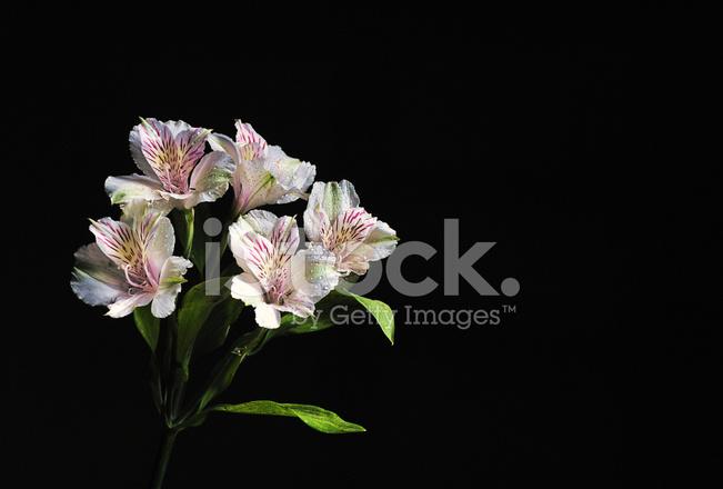Weiße Blume Auf Schwarzem Hintergrund Stockfotos - FreeImages.com